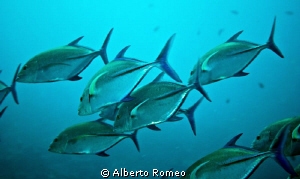A scool of    Giant trevally Caranx  ignobilis by Alberto Romeo 
